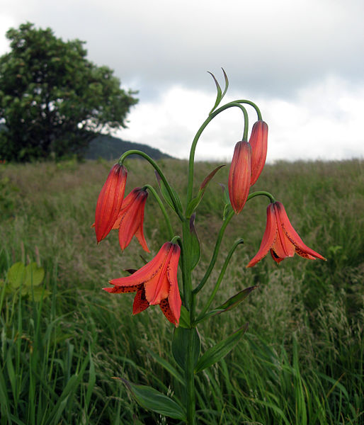 Tập tin:Lilium grayi Roan Mountain.jpg