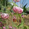 Lilium speciosum var. clivorum-IMG 6352.jpg