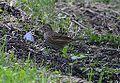 Lincoln's Sparrow (8002113789).jpg
