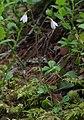 Linnaea borealis subsp borealis RF.jpg