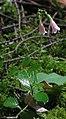 Linnaea borealis subsp longiflora RF.jpg