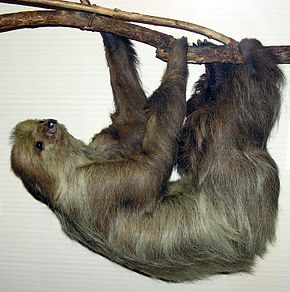 Linnaeuss.two-toed.sloth.arp.jpg