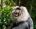 Lion-tailed macaque 3 by N A Nazeer.jpg