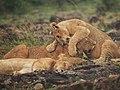 Lions @ Maasai Mara (20630348298).jpg