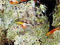 Lipophrys adriaticus.JPG