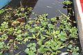 Lirio acuático en la laguna El Toro, en Xochimilco, Ciudad de México.jpg