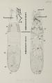 Listrophorus leuckarti external anatomy.png