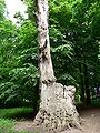 Lithuania Raudone Gediminas Oak.jpg