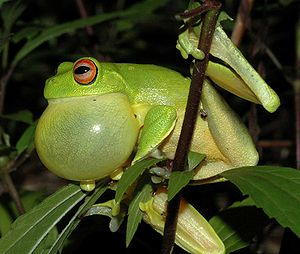 Vocal sac - A fully distended vocal sac in an Australian Red-eyed Tree Frog (Litoria chloris)