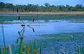 Little Black Cormorants (Phalacrocorax sulcirostris) (9854892265).jpg