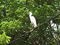 Little Egret-3-jaffna-Sri Lanka.jpg