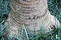 Livistona rotundifolia 3zz.jpg