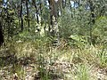 Lomatia silaifolia (habit).jpg