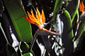 Longwood Bird of Paradise.jpg