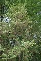 Lonicera maackii in Botanical garden, Minsk 01.jpg