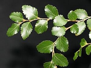 Lophozonia menziesii - Image: Lophozonia Menziesii Foliage