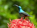 Loten's Sunbird Male (Cinnyris lotenius) (19196648441).jpg