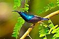 Loten sunbird by arshad ka.jpg