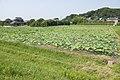 Lotus field in Namegata, Ibaraki 01.jpg
