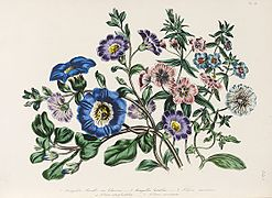 Loudon - The Ladies' Flower-Garden of Ornamental Annuals - pl. 25.jpg