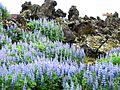 Lupins & lava (1407342587).jpg