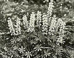 Lupinus perennis WFNY-f019.jpg