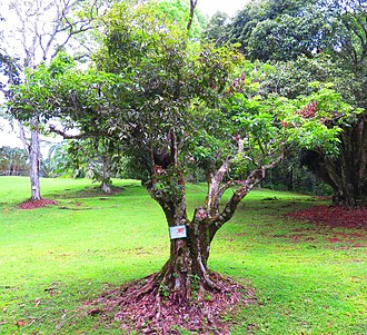 Lychee - L. chinensis tree at Parque Municipal Summit in Panama