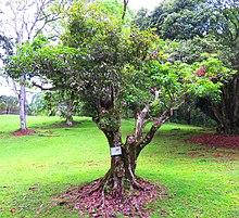 Illustrated key of simple-leaved trees