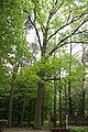 Męcka Wola,gm Sieradz,dąb szypułkowy,park,obwód 280 cm.jpg