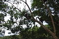 Macaco-prego Manduri 151207 42.JPG