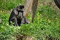 Macaque de Tonkéan.JPG