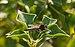 Machimus rusticus, Sète.jpg