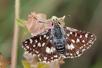 Spread-winged skipper