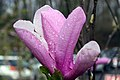 Magnolia Jane 10zz.jpg