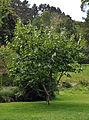 Magnolia campbellii Darjeeling.jpg