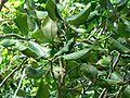 Magnolia sharpii 3.jpg