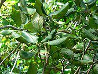Magnolia sharpii 3