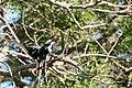 Magpie Shrike (6785965702).jpg