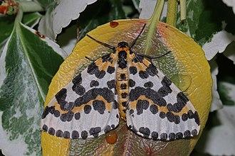 Abraxas grossulariata - Image: Magpie moth (Abraxas grossulariata) 2