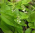 Maianthemum bifolium1.jpg