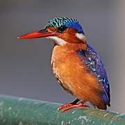 Malachite kingfisher (Corythornis cristatus stuartkeithi).jpg