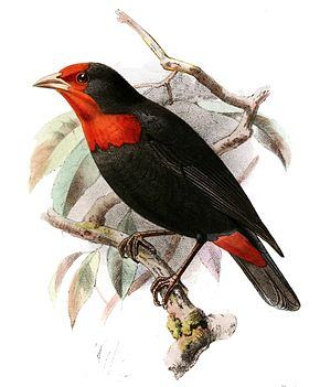 Description de l'image Malimbus rubropersonatus Keulemans.jpg.