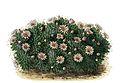 Mammillaria glochidiata BlKakteenT82.jpg