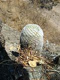 Mammillaria supertexta (5758462573).jpg