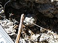 Mammillaria theresae (5702875518).jpg
