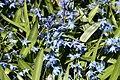 Mani ziedi My flowers - panoramio (8).jpg