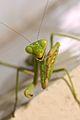 Mantis grooming foreleg.jpg
