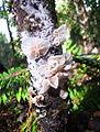Marasmiellus candidus (4062847771).jpg