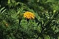 Marigold-Tagetes erecta-IMG 9754.jpg
