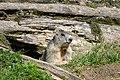 Marmota marmota Tauerntal 20160807 B03.jpg